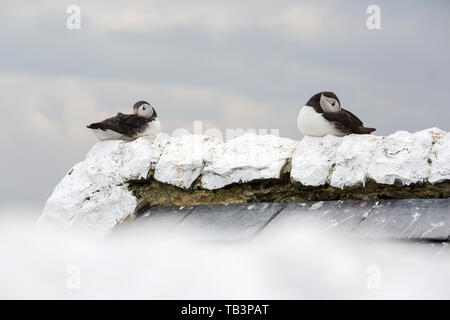 Puffins on the Farne Islands, Northumberland, UK. - Stock Image