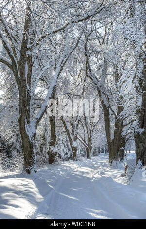 Alley in winter with snowy trees - Stock Image
