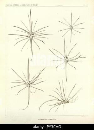 Cactaceae of the boundary (Plate 30) - Stock Image