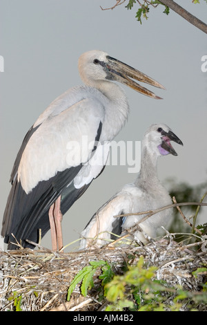 Indian Open billed stork Anastomus oscitans White Open billed stork parent and young at nest in Thailand - Stock Image