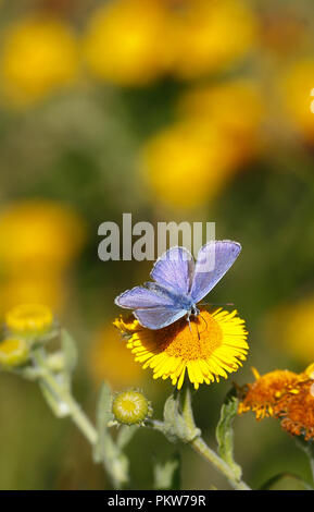 Common Blue butterfly male. Polyommatus icarus - Stock Image