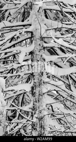 Close-up on snow-covered coniferous tree  - winter or christmas background or backdrop, black and white rendering - Stock Image