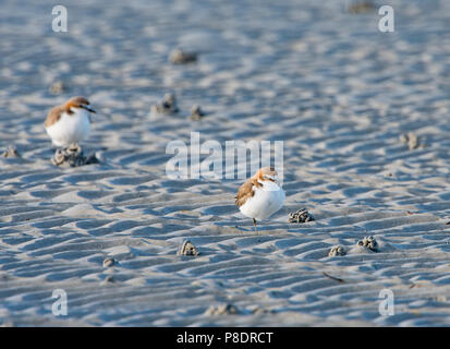 Red-capped Plovers (Charadrius ruficapillus) on the beach, Cape York Peninsula, Far North Queensland, FNQ, Australia - Stock Image