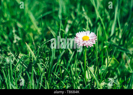 Lonely daisy flower in green spring grass close-up with copy space - Stock Image