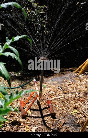 Sprinkler watering organic vegetable garden with out-of-focus leaves of Globe Artichoke (Cynara cardunculus) in - Stock Image