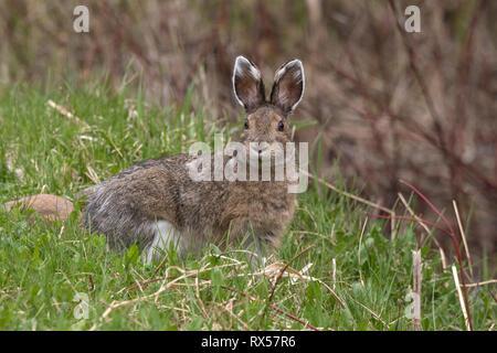 Snowshoe hare or varying hare (Lepus americanus), spring, near Lake Superior, Canada. - Stock Image