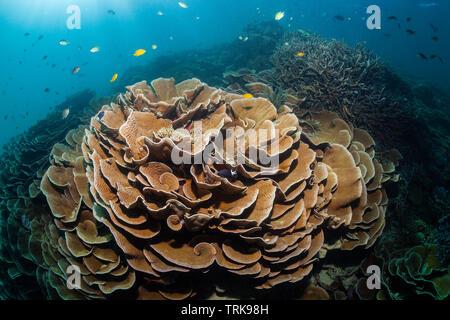 Healthy Hard Coral Reef, Turbinaria mesenterina, Lissenung, New Ireland, Papua New Guinea - Stock Image