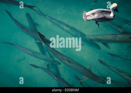A pelican and tarpon fish seen from a dock at Robbie's of Islamorada in lower Matecumbe Key, Florida. - Stock Image