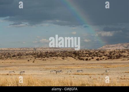 Zebras walking under a rainbow landscape - Stock Image