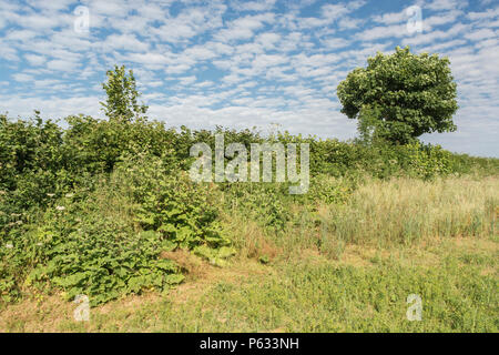 Natural field hedgerow with two bushy specimens of Greater Burdock (Arctium lappa) growing on the left hand side. - Stock Image
