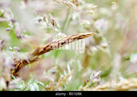 Grass, predominantly Yorkshire Fog (holcus lanatus), shot before flowering with low depth of field. - Stock Image