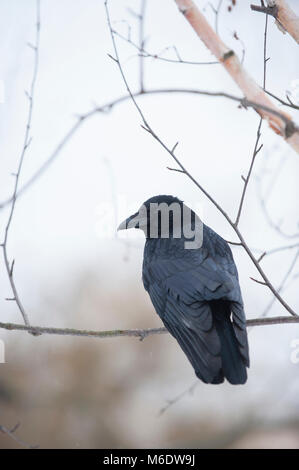 Carrion Crow, (Corvus corone), perched in winter, Regents Park, London, United Kingdom - Stock Image