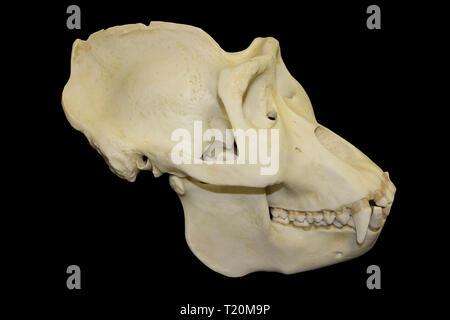 Male Gorilla Skull Black Background - Stock Image
