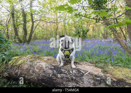Tehidy Woods, Illogan, Cornwall, UK. 21st April 2019. UK Weather. Titan the Pug out for early morning walk before it gets too hot, in the bluebell carpeted woods at Tehidy on the North Cornwall coast. Credit: Simon Maycock/Alamy Live News - Stock Image
