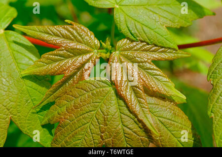 young sycamore leaves in spring, norfolk, england - Stock Image