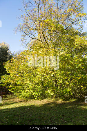 Caucasian Wing Nut tree, Pterocarya fraxinifolia, National arboretum, Westonbirt arboretum, Gloucestershire, England, UK - Stock Image