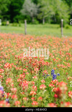 Field of bluebonnets and wildflowers country fence - Stock Image