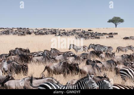 Wildlife migrating from Kenya to Tanzania. Africa. - Stock Image