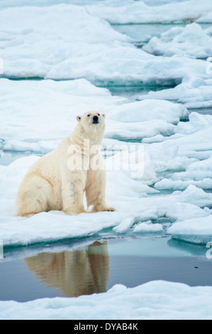 Solitary Polar Bear, Ursus Maritimus, sitting on an ice floe, Olgastretet Pack Ice, Svalbard Archipelago, Norway - Stock Image