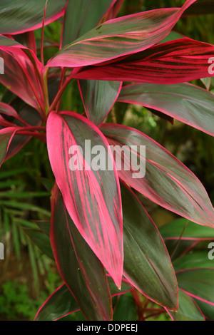 Ti Plant, Costa Rica - Stock Image