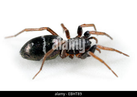 A female Ground spider (Micaria pulicaria), head-on view on white background. Ground spiders are part of the family - Stock Image