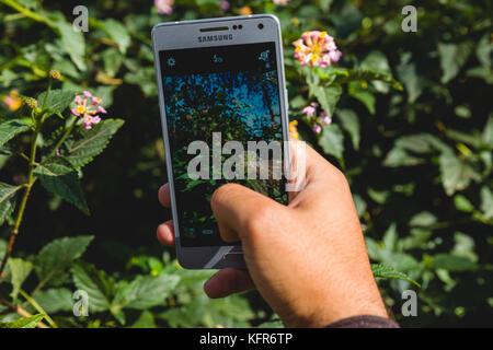 Taking a picture of flowers using a smartphone Samsung A5 - Stock Image