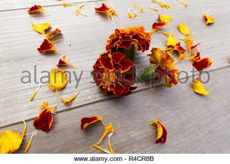 Marigold flowers and petals on a wooden background - Stock Image