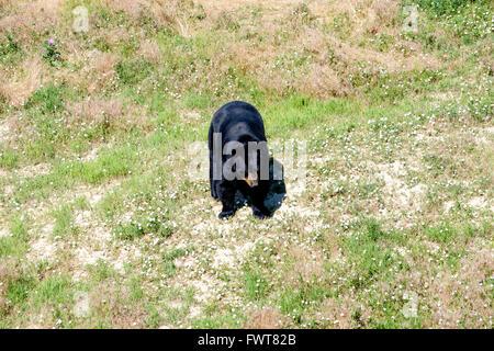 A black bear roams in his enclosure at the Wild Animal Sanctuary in Keenesburg, Colorado. - Stock Image