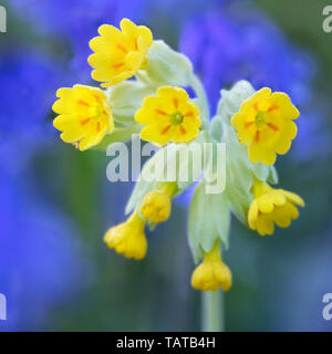 Cowslip flower head with bluebells as a backdrop (Primula veris) - Stock Image