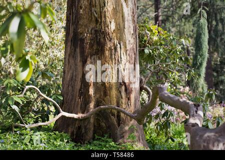 A tree branch that appears to hug another tree, in Hendricks park in Eugene, Oregon, USA. - Stock Image