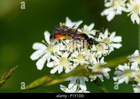 Parasitic ichneumonidae wasp on umbellifer flower - Stock Image