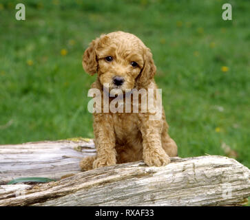 Labradoodle Puppy standing behind log with front legs on log. - Stock Image