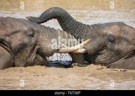African elephants (Loxodonta africana) bathing, Addo elephant national park, Eastern Cape, South Africa, September 2018 - Stock Image