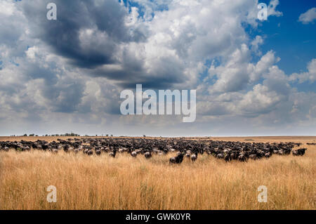 A group of animals huddle together for safety during the migration. Kenya, Africa. - Stock Image