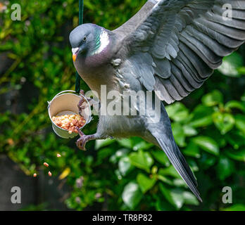Common wood pigeon (Columba palumbus) getting it wrong and landing on a small bird feeder spilling suet food and seeds - Stock Image
