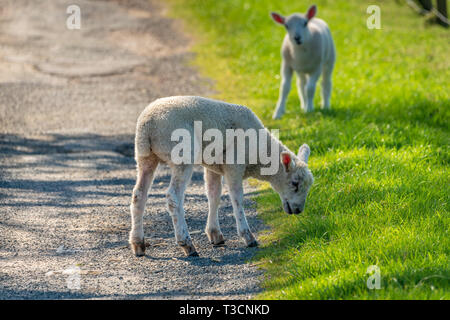 Two lambs grazing on the edge of a rural road - Stock Image