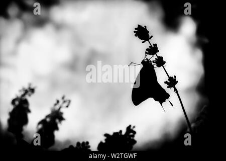 A black and white side view silhouette of a swallowtail butterfly (papilio rutulus) - Stock Image