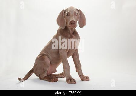 Weimaraner, puppy, 4 months|Weimaraner, Welpe, 4 Monate - Stock Image