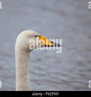 Profile portrait of a Whooper Swan,  Cygnus cygnus, against defocussed water at WWT Caerlaverock, Dumfries and Galloway, Scotland, UK - Stock Image
