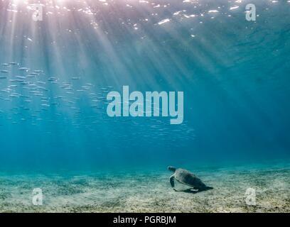 A Green turtle Chelonia mydas and shoal of fish in peaceful underwater scene, Marsa Abu Dabbab Bay. - Stock Image