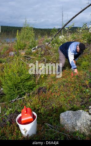 Senior caucasian male picking wild lingonberries ( vaccinium vitis-idaea ) , Finland - Stock Image