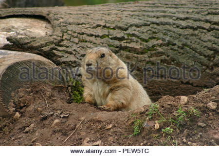 Prairie Dog at the entrance of its burrow with a fallen tree in the background and looking slightly to its right. - Stock Image
