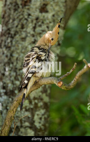 Hoopoe, Latin name Upupa epops, perched on a branch while preening - Stock Image
