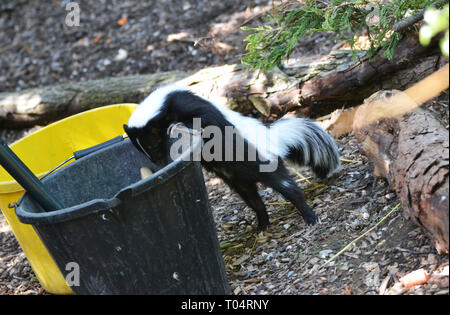 A skunk at the Tropical Wings Zoo, Chelmsford, Essex, UK. This zoo closed in December 2017. - Stock Image