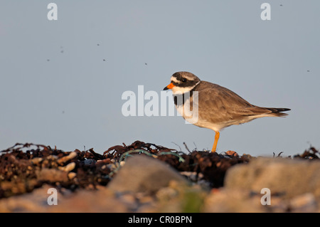 Ringed plover (Charadrius hiaticula) adult in breeding plumage on shingle beach in evening light, surrounded by - Stock Image