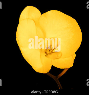 Digitally enhanced image of a single yellow Orchid on black back ground - Stock Image