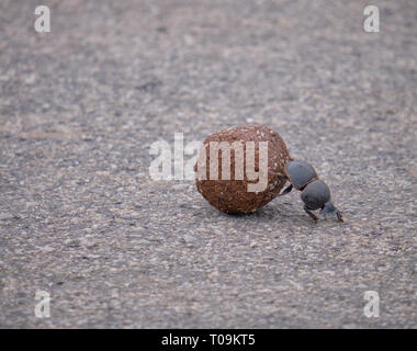 Flightless dung beetle pushing a ball of elephant excrements over the pavement - Stock Image