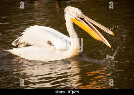 Great white pelican fishing - Stock Image