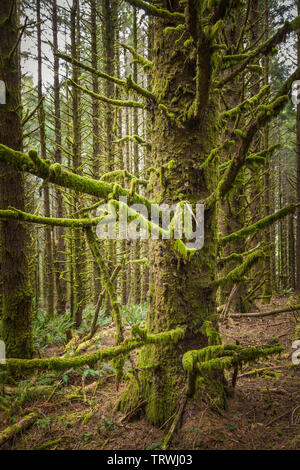 Trees at Cape Sebastian State Scenic Corridor, a state park in the U.S. state of Oregon, administered by the Oregon Parks and Recreation Department. - Stock Image