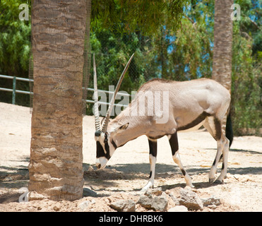 Antelope grazing below trees - Stock Image